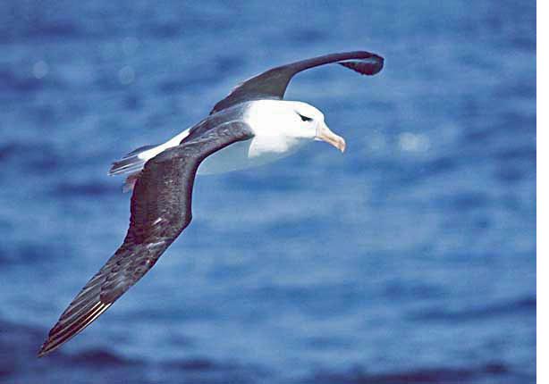 Фотография Uwe Kils Чернобровый альбатрос